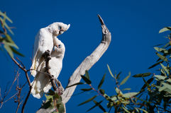 Little Corellas Stock Images