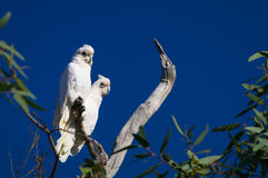 Little Corellas. Pair of Little Corellas (Cacatua sanguinea) in Sturt National Park, outback New South Wales, Australia Royalty Free Stock Photo