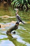 Little Cormorant Royalty Free Stock Photography
