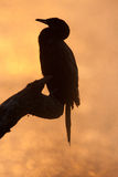 Little Cormorant. A Little Cormorant at high resolution in a sunset Stock Photography