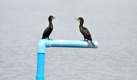 Little Cormorant Royalty Free Stock Image