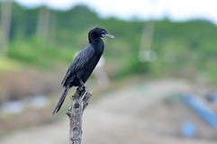 Little Cormorant Royalty Free Stock Photos
