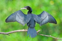 Little Cormorant stock image