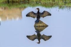 Little cormorant in Arugam bay lagoon, Sri Lanka Stock Photos