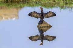 Little cormorant in Arugam bay lagoon, Sri Lanka Stock Photo
