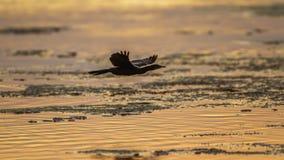 Little cormorant in Arugam bay lagoon, Sri Lanka Royalty Free Stock Photos