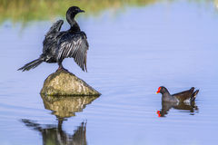 Little cormorant and Common moorhen in Arugam bay lagoon, Sri La Royalty Free Stock Photos