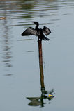 Little Cormorant on drying up Stock Photography