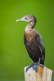 Little cormorant, Javanese cormorant Royalty Free Stock Photography