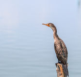 Little cormorant or Javanese cormorant Royalty Free Stock Images