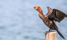 Little cormorant or Javanese cormorant Royalty Free Stock Image