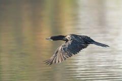 Little Cormorant Royalty Free Stock Photos
