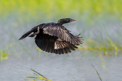 Little cormorant (Microcarbo niger) Stock Photography