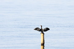 Little Cormorant; Phalacrocorax niger Stock Photo