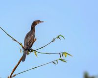 Little Cormorant, phalacrocorax niger, Bird,perched Royalty Free Stock Images