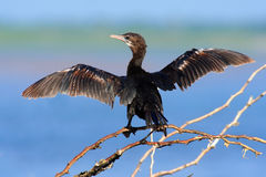 Little Cormorant, Phalacrocorax niger, with open wings. Water bird with blue water level in the background. Water bird in the natu Royalty Free Stock Photo