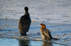 The Little Cormorant sits on the ice Stock Image