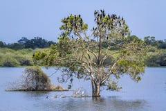 Little cormorant in Thabbowa sanctuary, Puttalam, Sri Lanka Stock Image
