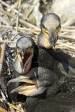 Little Cormorants (Phalacrocorax carbo). A photo of nestlings of great cormorant (Phalacrocorax carbo Royalty Free Stock Photo