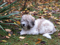 Little Coton de Tulear dog in the garden Stock Photography