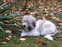 Little Coton de Tulear dog in the garden Stock Photography