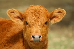 Little cow. Baby cow staring at camera stock images