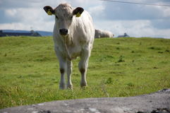 Little cow along the road Stock Photo