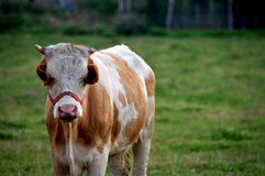 Little cow Royalty Free Stock Image
