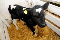Little cow calf in box with straw Royalty Free Stock Photography