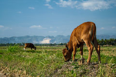 Little Cow on a farmland Stock Images