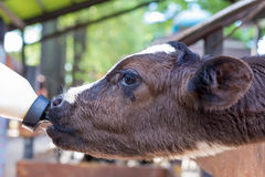 Little cow feeding from milk bottle in farm Royalty Free Stock Image