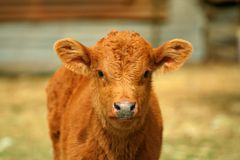Little cow II. Little cow staring at camera portrait Royalty Free Stock Photo