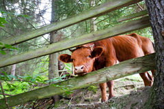Little cow looks from a wooden fence in the forest Royalty Free Stock Images