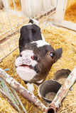 A little cow puts head across the fence, waiting for food. Royalty Free Stock Images