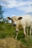 Little cow snacking Royalty Free Stock Photo
