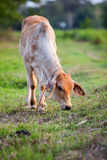 Little cow standing alone Stock Photography