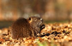 Little coypu Royalty Free Stock Image