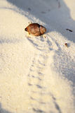 Little crab. Crab footprints on the sand Royalty Free Stock Photography