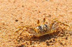 Little crab Royalty Free Stock Photography