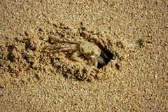 Little Crab on the Beach in Oahu, Hawaii royalty free stock images