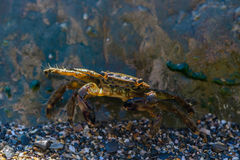 Little crab hiding behind a big stone. On the sea beach Stock Images