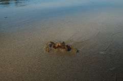 Little Crab on the mangrove beach Stock Photo