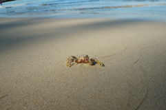 Little Crab on the mangrove beach Stock Photography