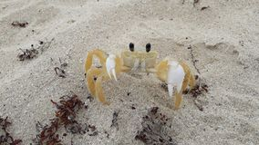 Little crab on sand of beach Atlantic Ocean, Cuba royalty free stock images