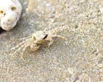 Little crabs on the beach Stock Images