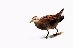 Little Crake (Porzana parva). Stock Images