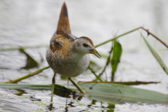 Little Crake (Porzana parva). Royalty Free Stock Photo