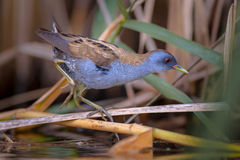 Little Crake Stock Image
