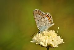 Little cream-colored flower with butterfly Royalty Free Stock Photography