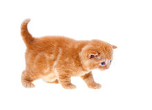 Little cream kitten. Isolated on white background royalty free stock photo